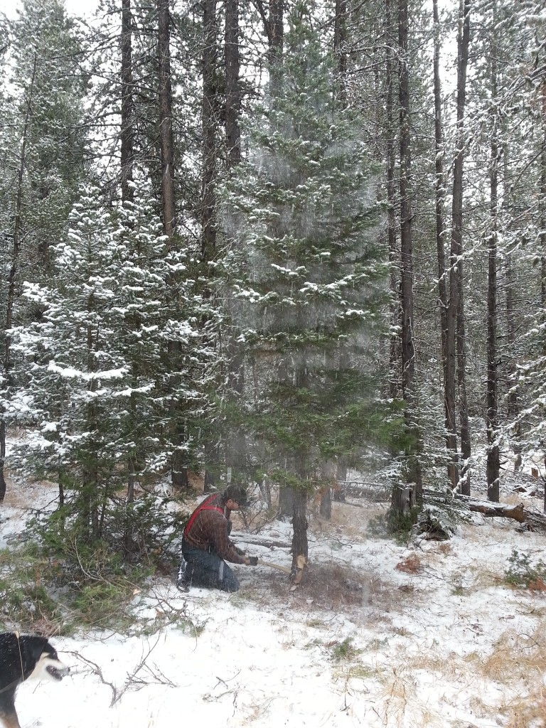 Sam chopping on a Subalpine Fir